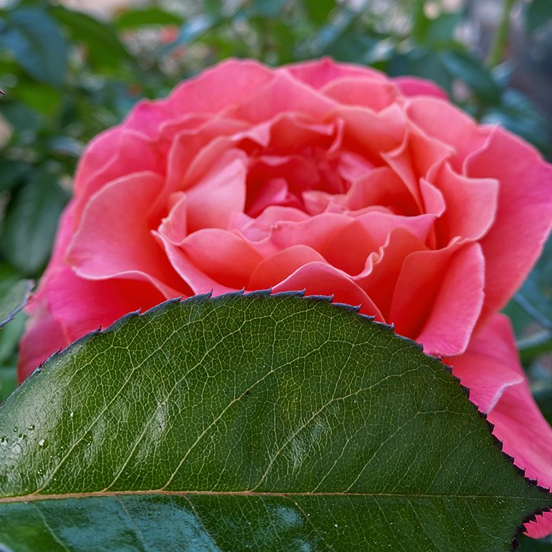 A pink rose blossom, partially obscured by a horizontal green leaf in the foreground.