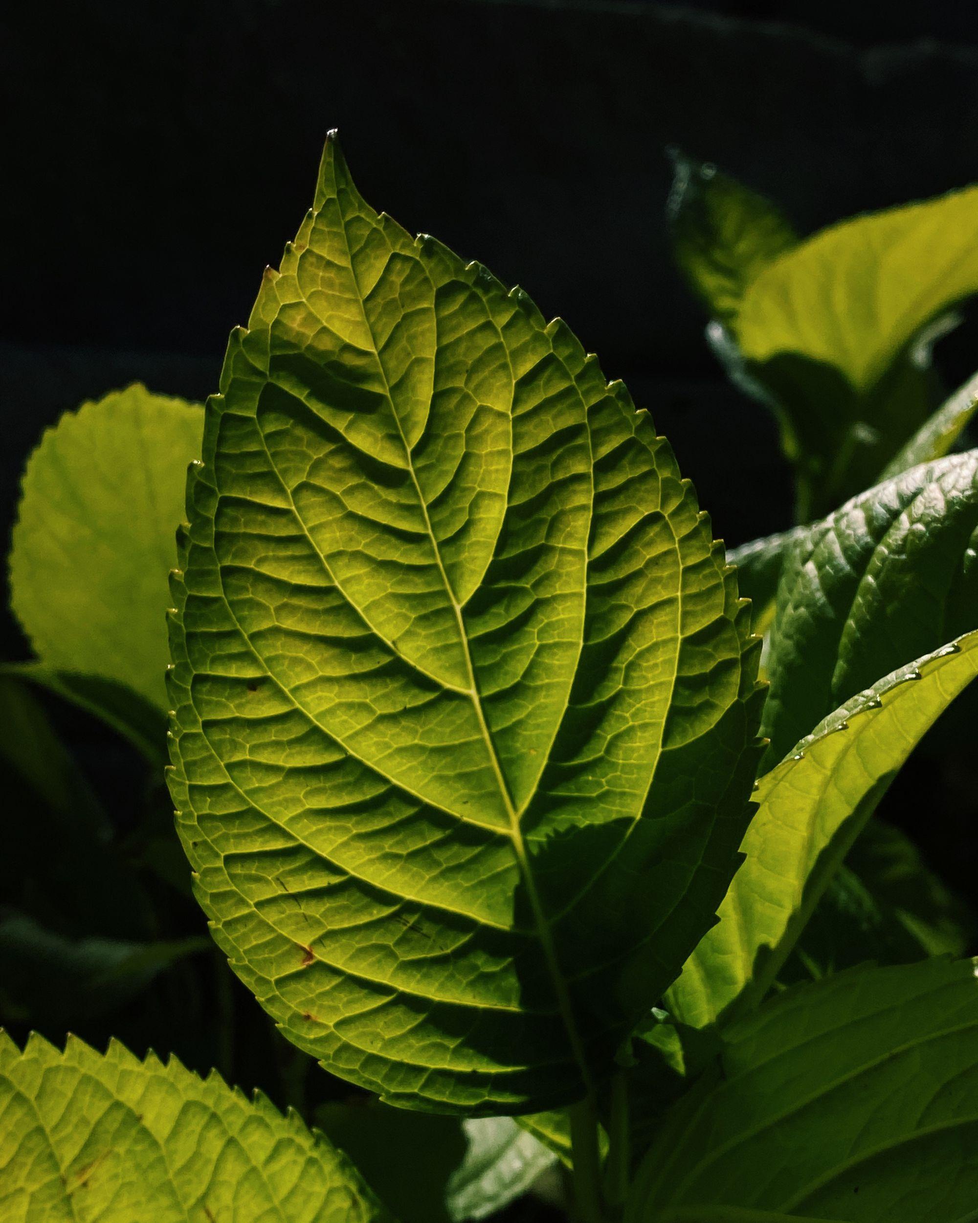 A green hydrangea leaf in deep shadow, backlit and glowing.